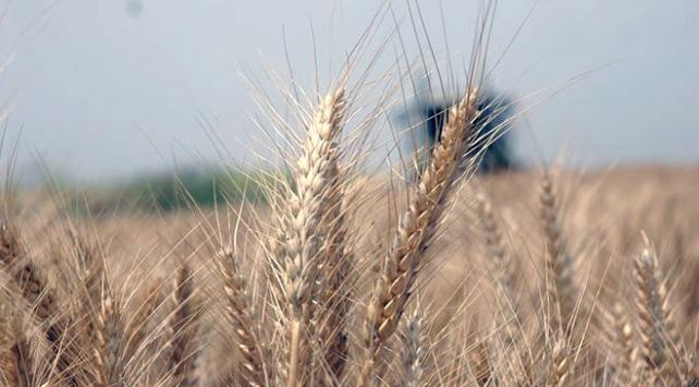 Buğdayda gözler üretimde